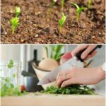 Learn how to grow this flavorful herb in a pot, in your indoor or outdoor garden...