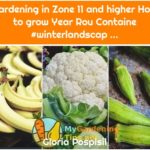 Gardening in Zone 11 and higher How to grow Year Rou Containe #winterlandscap ...